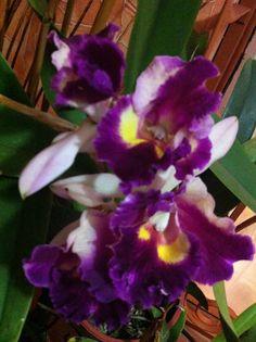 La flor nacional ( guaira morada) de Costa Rica