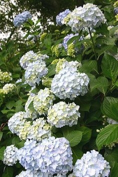 Hydrangea... want to know how to differentiate between hydrangea and snowball viburnum!