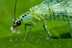 Green lacewing - Chrysopa chi
