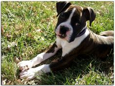 My Boxer at 3 months old, such a cutie, I've had dogs all my life, but I love my Boxer the most.