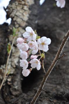 벚꽃, 버찌, 체리