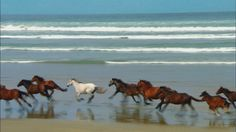 Evocative sight, galloping #horses along the beach