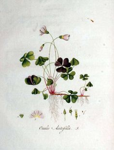 136001 Oxalis acetosella L. / Kops et al., J., Flora Batava, vol. 1: t. 9 (1800). shamrock illustrations. there are many more illustrations at this link.