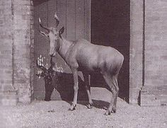 Female Bubal Hartebeest that lived in London Zoo from 1883 until 1897. The Bubal Hartebeest was a species of antelope that became extinct in 1923. It was once found over much of North Africa, as far east as Egypt, where it was a mythological & sacrificial beast. By the 1900s its range was limited to Algeria & the Moroccan High Atlas mountains. A fawn-coloured animal that stood almost 4 feet at the shoulder, it was characterised by lyre-shaped horns that almost touched at the base.