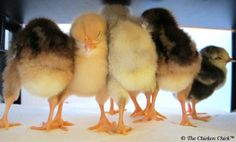 When Baby Chicks Need a Pedicure: Manure Balls. PLUS Book Launch of The Farmstead Egg Guide Chicken Chick, Chicken Runs, Chicken Coops, Incubating Chicken Eggs, Chicken Incubator, Baby Ducks, Chickens And Roosters, Raising Chickens, Pet Care