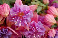 Google Image Result for http://photos.orblogs.com/photos/2007/04/Fuchsia.jpg