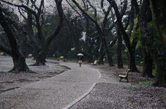 580:「雨上がりの公園です。桜の幹もしっとりとして、爽やかな空気の匂いも楽しめました。桜の花びらを踏みしめて歩きます」@新宿御苑