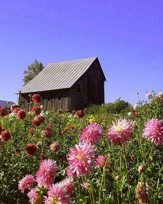 Log Cabin Dahlias | Flickr - Photo Sharing!