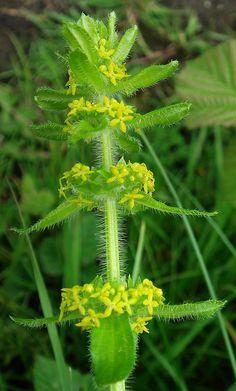 Crosswort - Cruciata laevipes: widespread, May-June Suomeksi karvaristimatara.