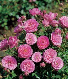Amulett®. Dwergroos. Ouderwets aandoende, roze-rode, dicht gevulde bloemen die lang en rijk bloeien. Lage, breedbossige groeiwijze met donkergroen loof. Zeer geschikt voor plaatsen met weinig ruimte zoals balkon en grafbeplanting. Ideale potroos.