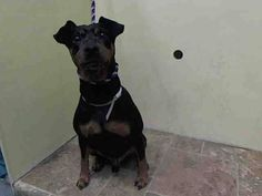 TO BE DESTROYED - 01/13/15 Manhattan Center   My name is DIESEL. My Animal ID # is A1025173. I am a male black and tan manchester terr mix. The shelter thinks I am about 8 YEARS old.  I came in the shelter as a OWNER SUR on 01/10/2015 from NY 10462, owner surrender reason stated was PERS PROB.