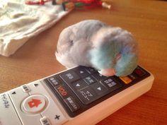 超萌《懶惰鸚鵡》靠著東西是因為站累了嗎?