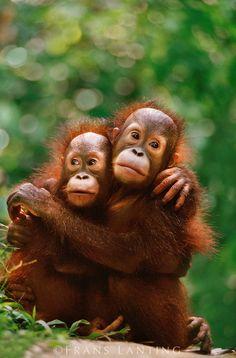 Young bornean orangutans, Pongo pygmaeus, Sepilok Reserve, Borneo