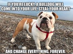 The major breeds of bulldogs are English bulldog, American bulldog, and French bulldog. The bulldog has a broad shoulder which matches with the head. Dog Training Methods, Basic Dog Training, Dog Training Techniques, Training Dogs, Brain Training, Bulldog Breeds, Bulldog Puppies, Dogs And Puppies, Doggies