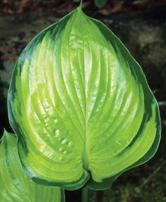 """Hosta--'Final Summation' - This one's a big boy that gets up to 20"""" tall and 60"""" wide. And yes, the leaves are quite shiny!"""