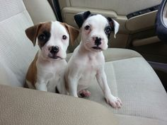 Petfinder Adoptable Dog   Boxer   Vail, AZ   dallis  (how stinking cute are these 2)
