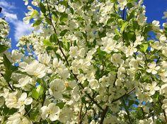 Pommetier en fleurs  #arbre #été #fleurs #terrain #quebec #pommetier