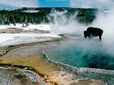 Yellowstone bison warming up at a thermal pool