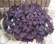 Oxalis triangularis is much better known as the Purple Shamrock. Very easy to grow and take care of, our Oxalis information and care guide provides all the requirements to keep yours alive. House Plant Care, House Plants, Indoor Garden, Indoor Plants, Container Gardening, Gardening Tips, Easy Care Houseplants, Shamrock Plant, Oxalis Triangularis