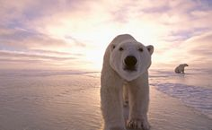 on thin ice. with a warming climate, polar bears have less ice time and area to hunt for seals. notes andrew derocher, professor of biological sciences at the university of alberta, who has spent his...