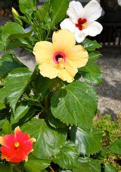 Hibiscus.......