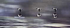Canadian Geese in Flight used a canon ef & Tamron 85-210.film was Ektachrome 64.I panned with the geese.It was a very overcast saturated day to shoot.lens was wide open & shutter was probably around 30th