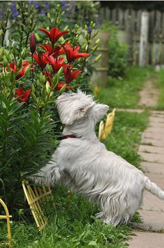 A Westie terrier stops to smell the flowers Baby Dogs, Pet Dogs, Dog Cat, Pet Pet, Chihuahua Dogs, Doggies, Beautiful Dogs, Animals Beautiful, Cute Animals
