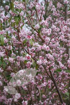 Daphne bholua 'Jacqueline Postill' is the most exquisitely perfumed Daphne. If I was only allowed one winter flowering plant this is the one I would choose. Clusters of small, sweetly scented, deep pink buds open in January and February and are followed by rounded, purple-black berries. This deciduous or semi-evergreen shrub thrives in a sunny, sheltered position. It looks wonderful under-planted with a carpet of magenta or white Cyclamen coum. zone: 7-9