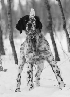 Black And White Brindle English Setter Dog In Snow