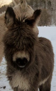 Tara Pilonero ~ ‎Wooly Miniature Donkeys, Our wooly jack foal, Paddington, 4 months old. I'm really liking this little fella. Baby Donkey, Cute Donkey, Mini Donkey, Baby Cows, Baby Elephants, Elephant Baby, Zoo Animals, Animals And Pets, Cute Animals