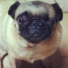 Pewdiepie's dog Maya/Puga