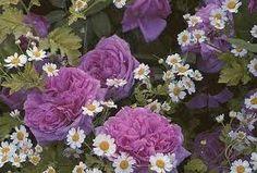 Comte de Chambord Rose: Good Summer