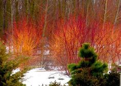 ARCTIC FIRE is a dwarf redtwig dogwood cultivar that is primarily grown for its bright red winter stems which are particularly showy against a snowy backdrop. It typically grows to 3-4' tall and as wide with dense stems.