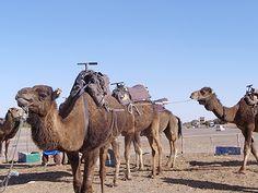 Camels taking rest