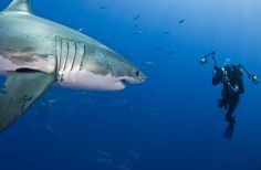 Underwater photographer Amos Nachoum photographs a Great White :: www.seethewild.org
