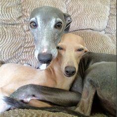 italian greyhound | Italian greyhounds!!! | Kathy