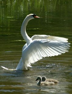 Swan by bury_dog_walker1
