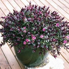 Hebe Pretty n Pink - Garden Express Plants Under Trees, Inside Plants, Trees To Plant, Dwarf Flowering Shrubs, Evergreen Shrubs, Pink Garden, Colorful Garden, Garden Express, Australian Plants
