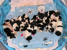 15 Landseer (Black & White) Newfoundland puppies + 4 Blacks = 18 total....many are already champion pointed!