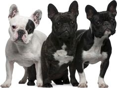 bulldog françes - Buscar con Google