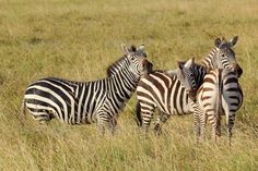 Group of common zebras ...  Equus, Equus quagga, Ngorongoro, africa, african, animal, animals, black, common, elegant, equine, horse, kenya, mammal, national, nature, park, pattern, plain, reserve, safari, savanna, savannah, serengeti, striped, stripes, tanzania, travel, ungulate, white, wild, wilderness, wildlife, zebra