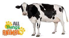 COWS: Animal Videos for children| kids| toddlers. Preschool & Kindergart...
