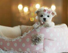 Tea cup maltese ♥♥♥I love my Sophia Belle! Tiny Puppies, Teacup Puppies, Cute Puppies, Cute Dogs, Teacup Maltese, Cute Dog Toys, Cute Baby Animals, Yorkies, Mini Dogs
