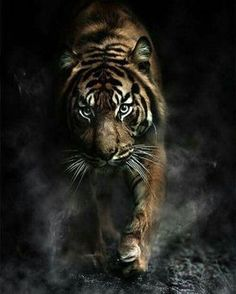 ♂ Wildlife photography animal tiger by charlotte Nature Animals, Animals And Pets, Cute Animals, Wild Animals, Baby Animals, Beautiful Cats, Animals Beautiful, Wildlife Photography, Animal Photography