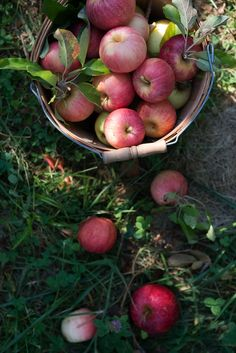 Apple Orchard | Now, Forager | Teresa Floyd Photography