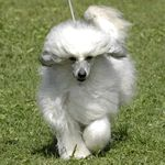 A small fluffy dog breeds list including 29 fluffy small dogs. A guide on which is the best dog for you and a top 10 awards with winners from each category. Small Fluffy Dog Breeds, Unique Dog Breeds, Fluffy Dogs, Chinese Crested Hairless, Chinese Crested Powder Puff, Dog Breeds That Dont Shed, Tiny Horses, Chinese Dog, Cutest Puppy Ever