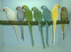 Indian Ringneck Mutations | manillensis: Albino, Grey, Green, Turquoise Blue, Blue, Lutino ...