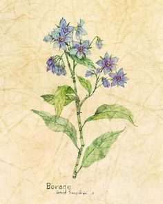 How to grow and use Borage - with recipes #edible #flowers #food #vegetable #gardening
