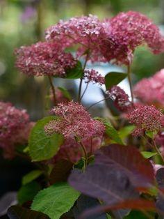 Hydrangea arborescens 'Invincibelle'  En upprätt buske med ganska mjuka grenar och sammetsmjuka gröna blad. Under juli kommer klotformade blomsamlingar som är mörkt rosa i knopp. När blommorna slår ut bleknar de till en mild gammalrosa nyans. Tacksam buske som trivs och blommar i halvskugga. Blommorna kommer på årsskotten som fortfarande är gröna och mjuka när den blommar. Den blir en ganska vid buske som ger en frodig grönska med mjuka hjärtformade blad. Tålig men mår bäst i lä, behöver en…