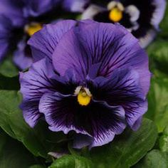 Frizzle Sizzle Blue pansy